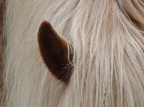 SChwarzwälder-Ohr